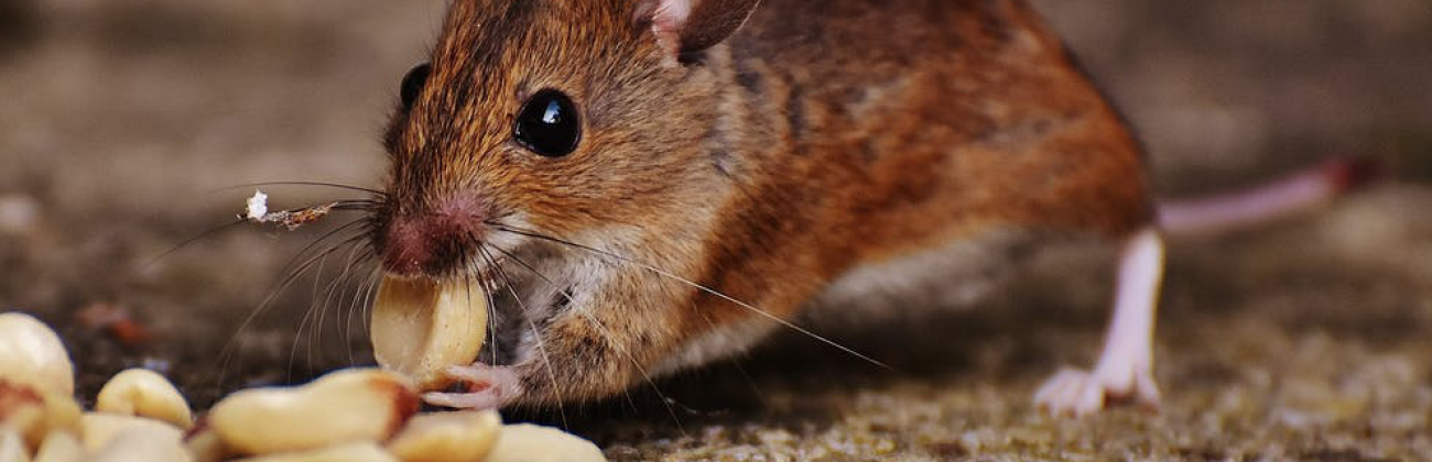 Mäuse bekämpfen - Baranowski